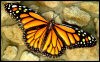 "Monarch Butterfly Wall Decor, Painted Metal Wall Art, Decorative Metal Art, Garden art - 16"" x 34"""